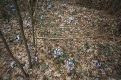 Pierwszy błękitna wiosna kwitnie w lasowych Pierwiosnkowych śnieżyczkach na liściach bukowa lasowa hepatica nobilis Poland wiosna Zdjęcia Royalty Free