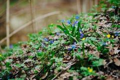 Pierwszy błękitne wiosna kwiatów śnieżyczki kwitną w lesie nagim obraz royalty free