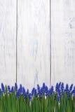 Pierwszy błękitne wiosny kwitną Muscari granicę na drewnianym stołowym tle Fotografia Royalty Free