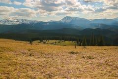 Pierwszy biały i różowy krokus kwitnie kwitnienie w Carpathians Fotografia Royalty Free