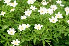 Pierwszy biały las kwitnie, wiosna kwiatu tło zdjęcia stock