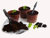 pierwszy bodziszków pelargoniums target1963_0_ Zdjęcia Stock