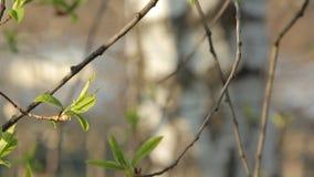 Pierwszy brzoza liść zbiory