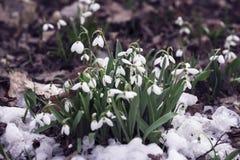 Pierwszy czułe dzikie śnieżyczki w górę, pierwiosnki w śniegu Pierwszy wiosen rośliny, sezony, pogoda tło mleczy spring pełne mea obraz royalty free