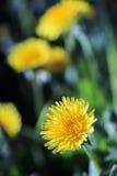 Pierwszy dandelions w wiośnie Zdjęcie Stock