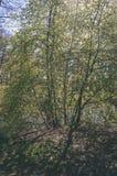 Pierwszy drzewni okwitnięcia w wiośnie - rocznika filmu spojrzenie zdjęcie royalty free