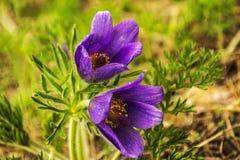 Pierwszy fiołkowi wiosna kwiaty Fotografia Royalty Free