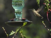 Pierwszy hummingbird przy mój domowym Kanada w tym roku Fotografia Stock