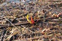 Pierwszy krótkopędy, wiosna Zdjęcie Stock