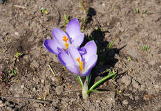 pierwszy krokus wiosna Zdjęcie Stock