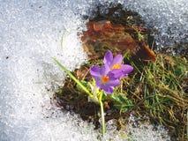 Pierwszy kwiat Obrazy Royalty Free