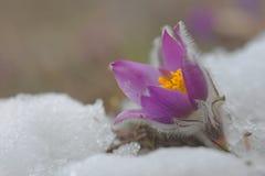 Pierwszy kwiatu Pulsatilla grandis fotografia stock