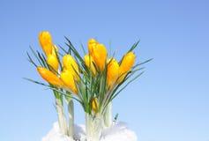 pierwszy kwiaty Fotografia Royalty Free