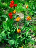Pierwszy kwiaty kwitnąć tulipany, w wiosna ogródzie obraz royalty free