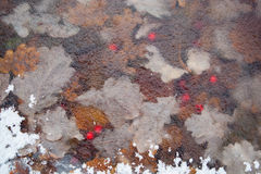 Pierwszy mróz opuszcza jagody Zdjęcie Royalty Free