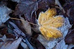 Pierwszy mrozowy nagłe oziębienie Spadać lodowaci liście drzewa zdjęcie stock