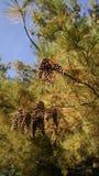 Pierwszy Pinecones Zdjęcie Stock