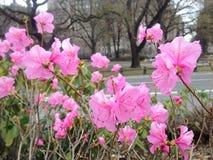 Pierwszy Różowe azalii rośliny Kwitnie w wiośnie przy central park Zdjęcie Stock