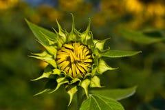 Pierwszy słonecznikowy kwiat. Fotografia Royalty Free