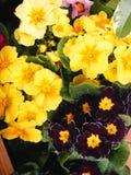 Pierwszy skacze kwiatu Primula mieszanki kolory dla karty lub sztandaru Fotografia Royalty Free
