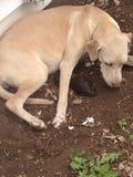 Pierwszy szczeniak sześć jest urodzony ten Weimarner, Lab mieszanka/ Zdjęcie Stock