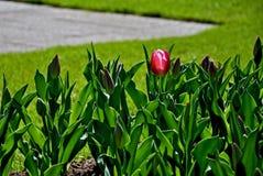 pierwszy tulipan Zdjęcia Royalty Free