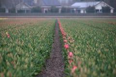 Pierwszy tulipany w wiośnie w polu w terenie Lisse clos Zdjęcia Stock