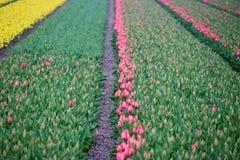 Pierwszy tulipany w wiośnie w polu w terenie Lisse clos Fotografia Royalty Free
