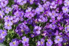 pierwszy wiosenny kwiat Fotografia Stock