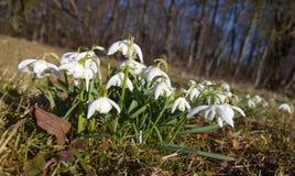 pierwszy wiosenny kwiat Białe śnieżyczki w lesie obrazy stock
