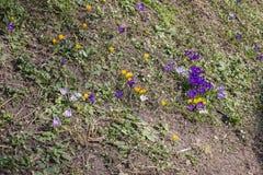 pierwszy wiosenny kwiat Pierwiosnki na lasowym wzgórzu Kwiatonośni stubarwni krokusy Pojęcie sezony, pogoda obraz royalty free