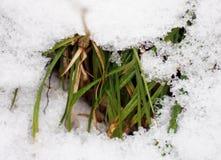 pierwszy wiosenny trawy Zdjęcia Stock