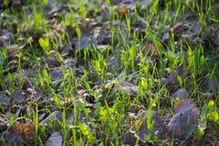 pierwszy wiosenny trawy Fotografia Royalty Free
