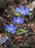 Pierwszy wiosna anemony Fotografia Royalty Free
