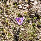 Pierwszy wiosna fiołek kwitnie zbliżenie widok na plenerowym zmielonym tle zdjęcie stock