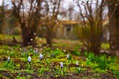 Pierwszy wiosna krokus Obraz Royalty Free