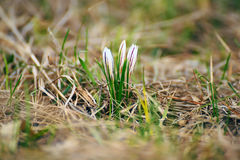 Pierwszy wiosna kwiatów Czuli krokusy Zdjęcie Stock