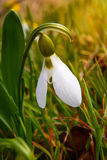 Pierwszy wiosna kwiat, biała śnieżyczka w lesie Zdjęcia Stock