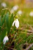 Pierwszy wiosna kwiat, biała śnieżyczka w lesie, zielony gra Zdjęcie Royalty Free