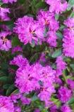 Pierwszy wiosna kwiaty lili r??aneczniki wczesna wiosna obraz royalty free