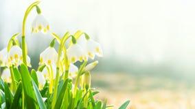 Pierwszy wiosna kwitnie, śnieżyczki, symbol natury obudzenie w świetle słonecznym Lekki tonowanie, jaśnieje Długi szerokość sztan obrazy stock