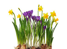 Pierwszy wiosna kwitnie daffodils i krokusy odizolowywających. Obrazy Stock