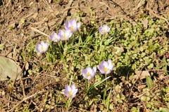 Pierwszy wiosna kwitnie krokusa obrazy stock