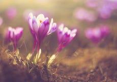 Pierwszy wiosna kwitnie krokusa w świetle słonecznym obrazy royalty free