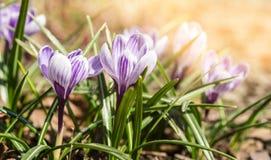 Pierwszy wiosna kwitnie krokusa Wiosny jaskrawy kwiecisty tło obrazy stock
