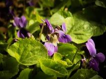 Pierwszy wiosna kwitnie pięknego Dzikiego fiołka zdjęcia royalty free