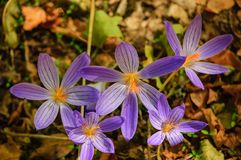 Pierwszy wiosna lasu kwiaty zdjęcia royalty free