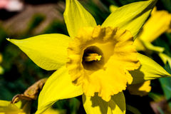 Pierwszy wiosna narcyzi Zdjęcie Stock