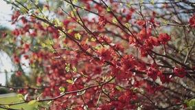 Pierwszy wiosna opuszcza i czerwień kwitnie na gałąź w a w górę zdjęcie wideo