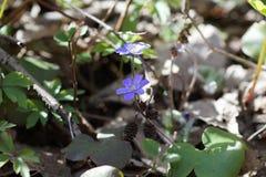 Pierwszy wiosny błękit kwitnie w lesie fotografia royalty free
